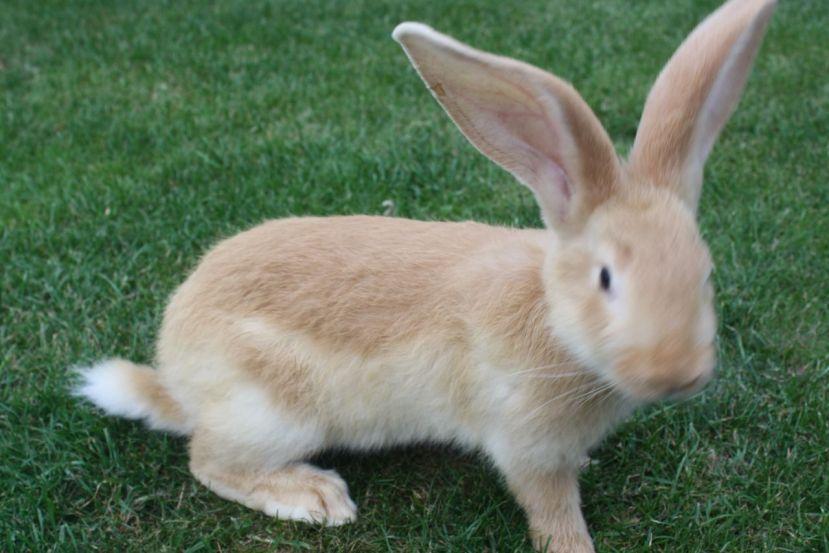 continental giant rabbit.jpg